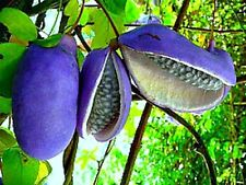 Akebia trifoliata, Chocolate Vine, 10 rare seeds, Japanese heirloom, sweet fruit