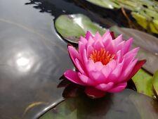 Ninfea rustica Mayla, pianta laghetto, ninfee, piante acquatiche IN VASO