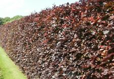 20 COPPER BEECH HEDGING PLANTS - 3 YEARS OLD 80-100cm TALL NOW - COLLECTION ONLY