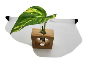 Propagation station single tube.  Wooden plant. House plant. Aroid