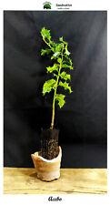 Holly plant-Ilex aquifolium - 2 years-Encampment forest