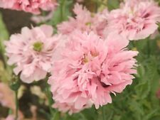 1x Papaver paeoniflorum PINK ( Perennial Poppy, plant ) Flower Peony poppies