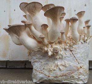 2 x Pilzzucht Fertigkultur, Kräuterseitling, Heimkultur, Pilze selber züchten