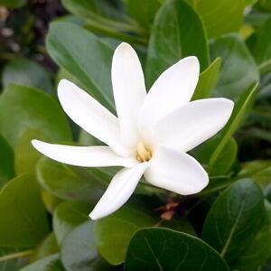 Gardenia Taitensis -Tiare Tahiti/Tahitian Gardenia- (5 graines, très rares)