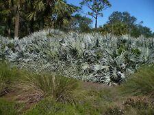 Silver Saw Palmetto   Serenoa repens var. sericea   10 Seeds