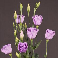 20 eustoma seeds LISA LAVENDER lisianthus seeds, longest-lasting cut-flowers you