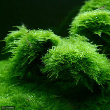 10g Java Moss Shrimp Breeding Carpeting Plants Live Aquatic Aquarium EASY GROW