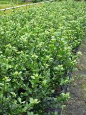 Busch/- Strauch-Stechpalme Strauchpflanzen für volles Sonnenlicht