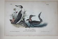 AUDUBON'S BIRDS of AMERICA - RED THROATED DIVER - First Edition Octavo #478