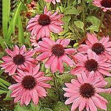 25+ PINK  ECHINACEA/CONEFLOWER FLOWER SEEDS / PERENNIAL