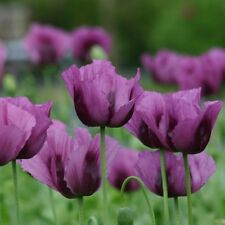 Papaver Hungarian Blue Poppy - 800 Seeds - Hardy Annual