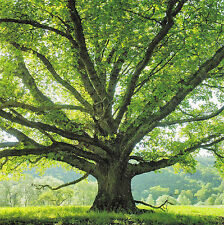 quadratische Postkarte: große alte Eiche - old oak tree - le chêne