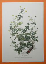 Blutwurz (Potentilla erecta),  Dilledapp, Durmentill  Rotwurz   Farbdruck 1955