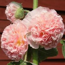 30 Rare Double Salmon Hollyhock Seeds Perennial Giant Flower Garden Plant Bloom