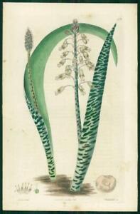 1823 Antique Botanical Print - LACHENALIA ANGUINEA Snake Leaved (SB179)