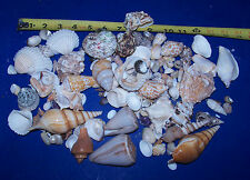 100+ Awesome Seashells Fishtank Reef Vole Conch Murex Item # 167T