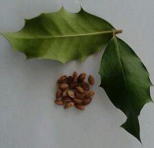 English Holly Seeds x20 Ilex aquifolium