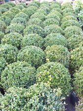 2 Stück Buchsbaum Kugel Ø 22-25 cm Buxus sempervirens