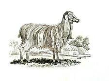 The Syrian Goat print from original Thomas Bewick block made in the early 1800's