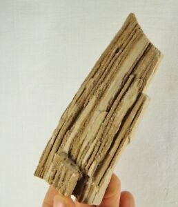 Versteinertes Holz, Hoegaarden, Belgien (14,5 x 5,5 x 3,5 cm)