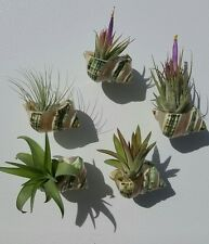 Tillandsia Sea shell magnet, air plant magnet