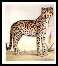 Godfrey Phillips Animal Studies 1936 - Cheeta No. 26