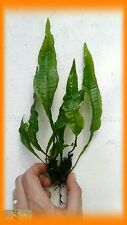 PLANTA DE ACUARIO: MICROSORUM PTEROPUS 3 RIZOMAS.