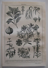 stampa antica old print FLORA chiodi di garofano melograno castagna fuchsia 1901