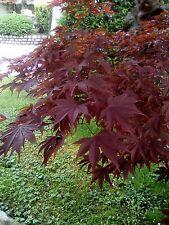 50 seeds semi acero rosso giapponese japan acer palmatum