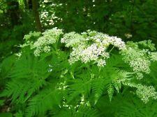 Seeds Power Vitamin Chervil Herb Plant Parsley Annual Garden Wild Organic Ukrain