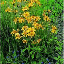Herb - Arnica - 50 Seeds