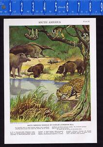 South American Mammals, Anteater, Ocelot, Sloth, Tapir, Monkey - 1950s Print