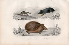 Gravure coloriée 1880. La Musaraigne - La Taupe  - Le Herisson