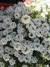 Schleifenblume Iberis sempervirens Schneeflocke Flächendecker Frühlingsblüher
