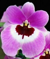 Miltoniopsis Boulivot 'THX 1138' pansy orchid seedling