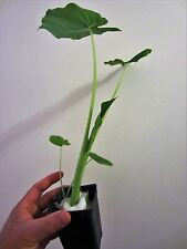Lot of 2 Pots Edible Taro Eleplant Ear Vegetable Culinary Aquatic Pond Leaf