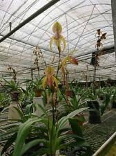 QOB Orchid Plant Multiflorous Paphiopedilum Shin-Yi Spring POT100mm LS400mm 4YO