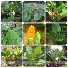 12 Seeds Heirloom Alocasia Macrorrhiza Green Giant Taro Indoor Plant Elephant
