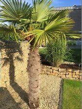 Immergrüne Trachycarpus-Bäume für gemäßigtes Klima