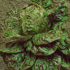 1 Oz Freckles Romaine Lettuce Seeds - Everwilde Farms Mylar Seed Packet