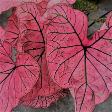 Spring Fling Caladium (6 Bulbs) Great color in the shade. for pots.