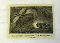small 1882 magazine engraving ~ MALE & FEMALE GLOW-WORMS
