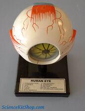 Model of Eye Anatomy