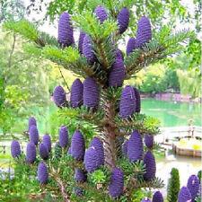 Plant Seeds Bonsai Tree Korean Fir Abies Koreana Garden Flower Decoration 30 Pcs