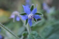 Borage Herb SEED Grow your own, Medicinal/Culinary Herb Wonderful blue flowers