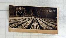 1939 Floodlit Tulips On Robert Cooke's Farm Pinchbeck