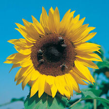 Fairy Garden x15 Sunflower Giant Yellow Single seeds