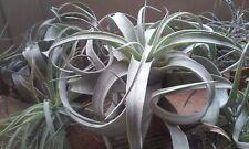 TILLANDSIA Xerographica Plante sans entretien /mur végétal/ hydroponie/ épiphyte