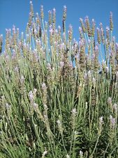 Lavender Paleface in 50mm forestry tube perennial plant