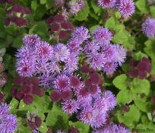 50+ Purple Tycoon Ageratum / Annual Flower Seeds